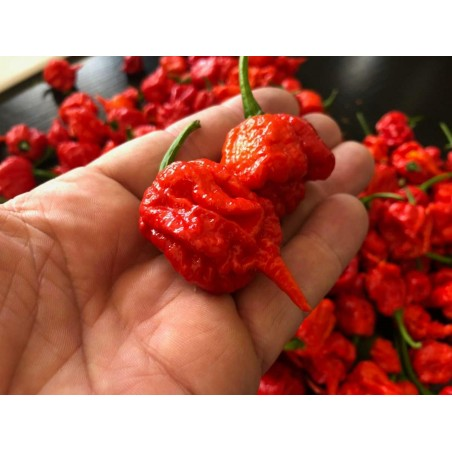 Carolina Reaper Seeds Red or Yellow Worlds Hottest 2.45 - 7