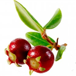 Chilensk Guava Frön Myrtus ugni (Ugni molinae) 2.8 - 3