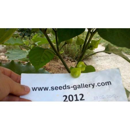 Σπόροι Τσίλι - πιπέρι Habanero Kreole (C. chinense) 2 - 3
