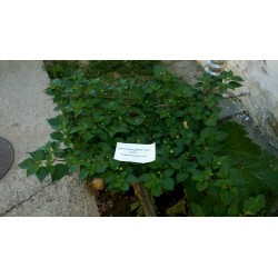 Kreole Habanero Seme (C.chinense) Extremno Velik Prinos 2 - 4