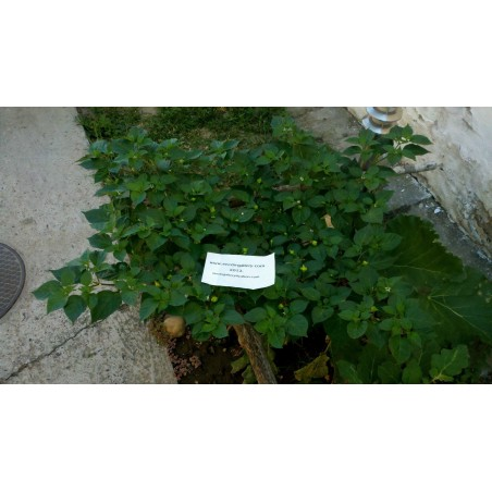 Habanero Kreole Seeds 2 - 4