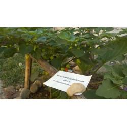 Σπόροι Τσίλι - πιπέρι Habanero Kreole (C. chinense) 2 - 6