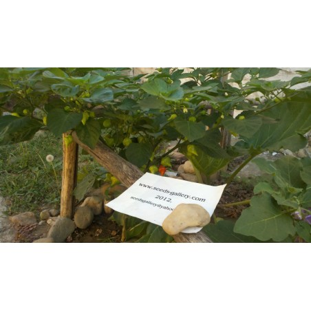 Graines de Piments Habanero Kreole (C. chinense) 2 - 6
