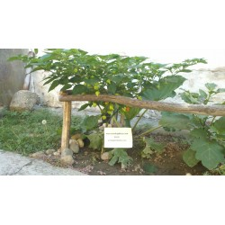Sementes de Pimenta Habanero Kreole (C.chinense) 2 - 7