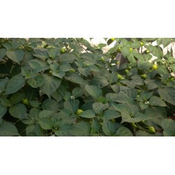 Sementes de Pimenta Habanero Kreole (C.chinense) 2 - 8