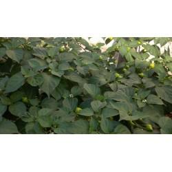 Semillas de Pimiento Habanero Kreole (C. chinense) 2 - 8