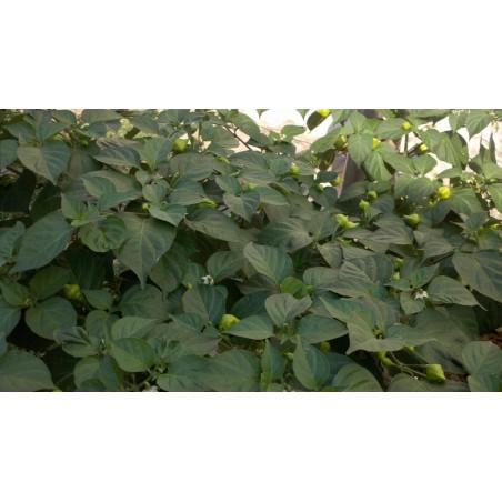 Habanero Kreole Seeds 2 - 8