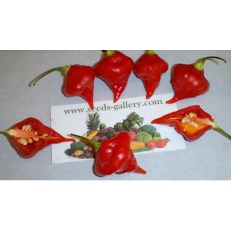 Graines de Piments Habanero Kreole (C. chinense) 2 - 9