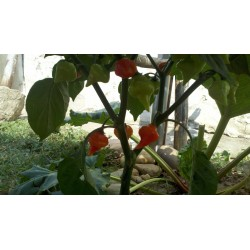 Semi di Peperoncino Habanero Kreole (C. chinense) 2 - 10