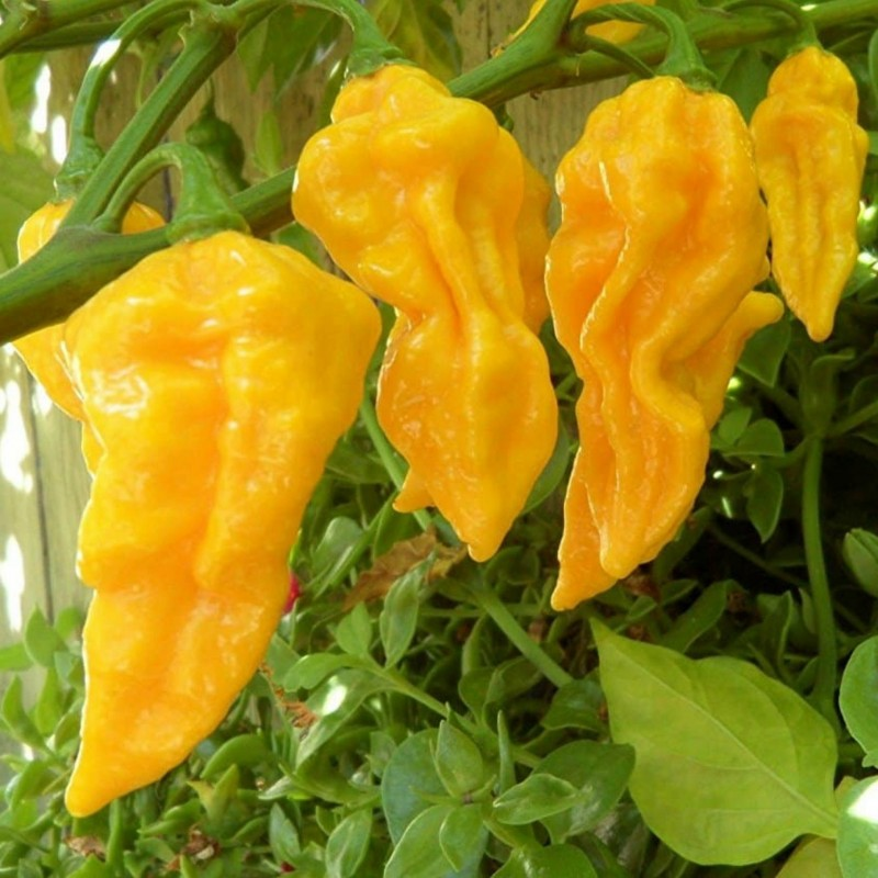 Habanero Devil's Tongue Yellow Seeds 2.15 - 2