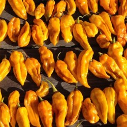 Sementes de Pimenta ,Pimentão ,Pimentões Devil's Tongue Yellow 2.15 - 1