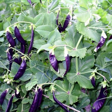 Blauwschokker Pea Seeds 1.95 - 1