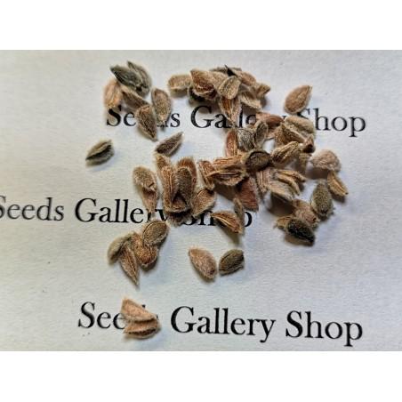Semillas de Calabacín MARROW LONG GREEN BUSH