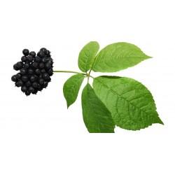 Sementes de Ginseng Siberiano 3 - 4