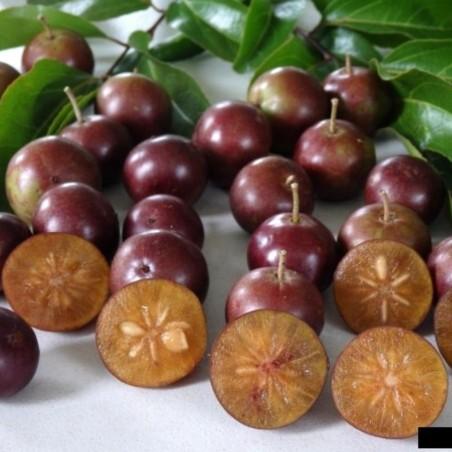 Graines de Prune Malgache (Flacourtia indica) 2.95 - 4