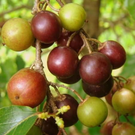 Gouverneurs-Pflaume - Governor's Plum Samen (Flacourtia indica) 2.95 - 3