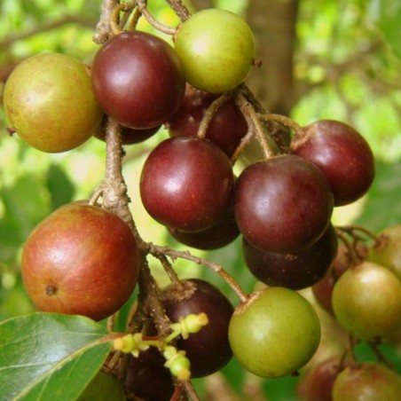 Ramontchi, Governor's Plum Seeds (Flacourtia indica) 2.95 - 3