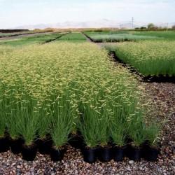 Semillas de hierba ornamental Pasto Navajita (Bouteloua gracilis) 1.45 - 1