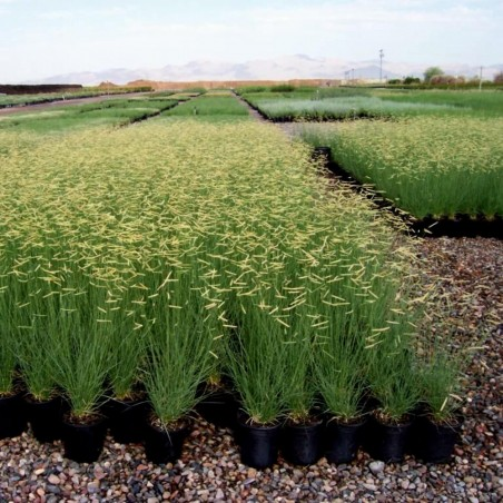 Mosquito Grass - Blue Grama Seeds (Bouteloua Gracilis) 1.45 - 1