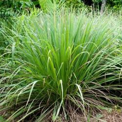 Semi di Citronella, Lemon grass (Cymbopogon citratus) 2.95 - 3