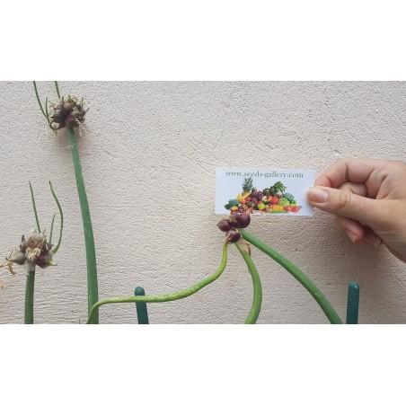 Luftzwiebel - Etagenzwiebel Samen (Allium proliferum) 7.95 - 5