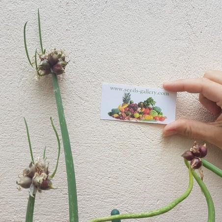 Luftzwiebel - Etagenzwiebel Samen (Allium proliferum) 7.95 - 2