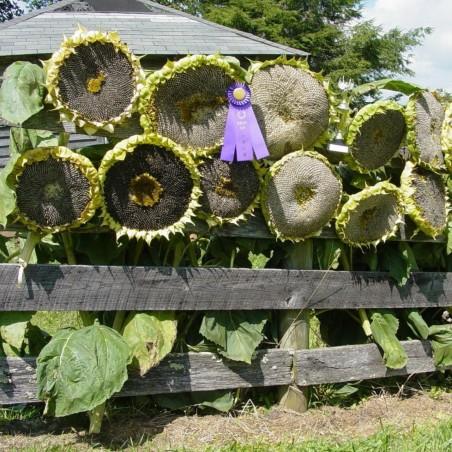 1000 Seeds Giant Sunflower - Mongolian Giant 9.95 - 3
