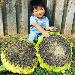 1000 семян гигантский подсолнух - монгольский гигант 9.95 - 2