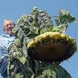 1000 Samen Riesige Sonnenblume - Mongolische Riesen 9.95 - 1