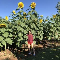 Riesen-Sonnenblume Samen Riesen Russische MAMMUT 1.85 - 1