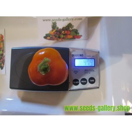 Rokotopeppar Frön (Capsicum pubescens) 'Rocoto Manzano'