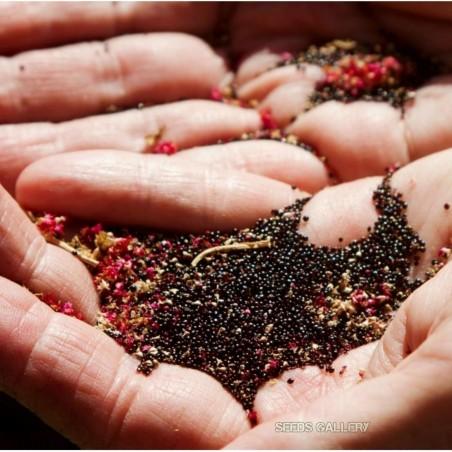 Black Amaranth Seeds (Amaranthus) 2.25 - 5