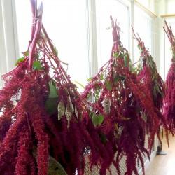 Black Amaranth Seeds (Amaranthus) 2.25 - 3