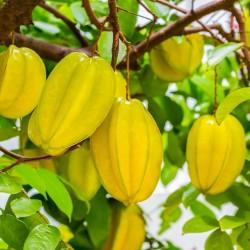 """""""Stjärnfrukt"""" Frön Averrhoa Carambola Tropical 4 - 3"""