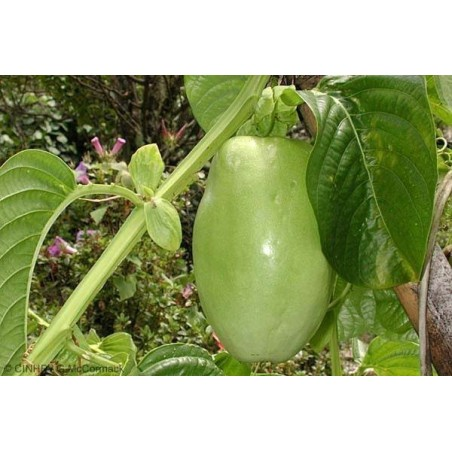 Giant Granadilla Seeds (Passiflora quadrangularis) 2.5 - 5