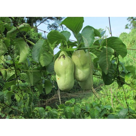 Giant Granadilla Seeds (Passiflora quadrangularis) 2.5 - 6