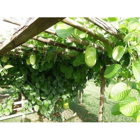 Semi di GIGANTESCO CAVOLO ALBERO (Brassica oleracea var. Longata)