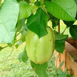Giant Granadilla Seeds (Passiflora quadrangularis) 2.5 - 9