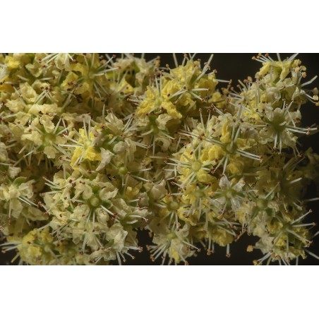 Sementes Pimenta 'Jalapeno M' (Capsicum annuum)
