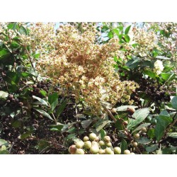 Sementes de Hena (Lawsonia inermis) 2.5 - 3
