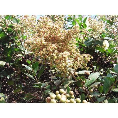 Лавсо́ния неколю́чая, Хна семена (Lawsōnia inērmis) 2.5 - 3