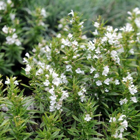 Winter savory Seeds 2 - 1