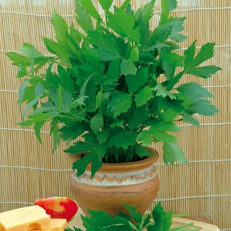 Semillas de Apio de Monte o Levístico (Levisticum officinale) 1.85 - 1
