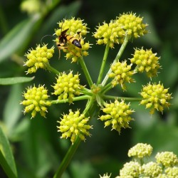 Lovage Seeds (Levisticum officinale) 1.85 - 2