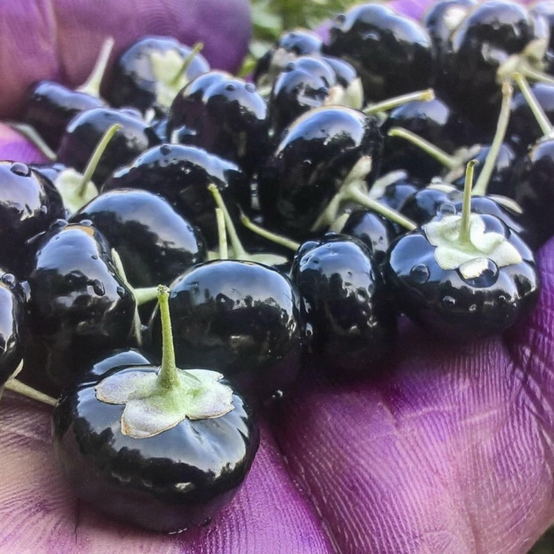 Black Goji Berry - Russian Box Thorn Seeds 1.85 - 3