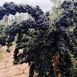 Black Goji Berry - Russian Box Thorn Seeds 1.85 - 2