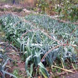 Σπόροι ΠΡΑΣΟ Kamus Allium Porrum 1.75 - 1