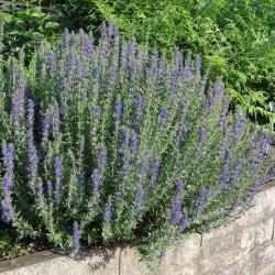 Sementes de Hissopo - Planta Medicinal (Hyssopus officinalis) 1.95 - 2