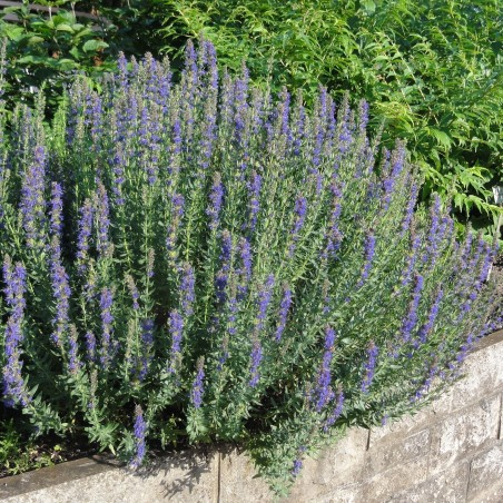 Hyssop Seeds Medicinal Plant (Hyssopus officinalis) 1.95 - 2