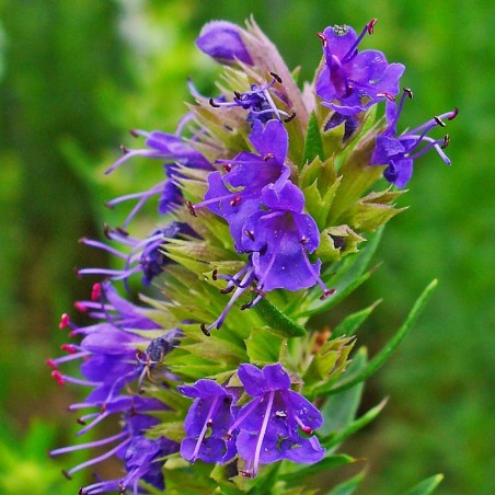 Isop Fröer - medicinalväxt (Hyssopus officinalis) 1.95 - 3